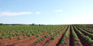 Warto w skutecznie i odpowiednio chronić uprawy rzepaku